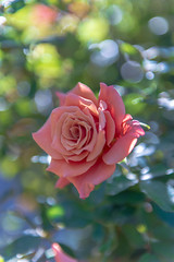 Autumn Rose #2 (yamabuki***) Tags: aaa5006 autumnrose ばら バラ 横浜イングリッシュガーデン