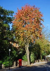 Lovely London (Gaz-zee-boh) Tags: almostanything autumn london londonnature londonist n7 nikond7k nikon nature colour gold postbox seasonal tree holloway tufnellpark blue l islington royalmail post explore explored red