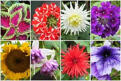 My summer blooms. (marj.p. (Catching up!!)) Tags: flowers summerblooms garden colourfulflowers summer2018 mygarden shropshire gardening hobby colours rainbowcolours fujifilmfinepixhs50 collage collageofflowers