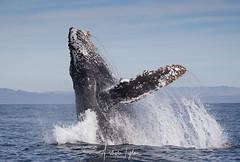 _A2I5550- Humpback Whale Breach (Ashala Tylor Images) Tags: humpback whale avilabeach breach ocean sanluisobispo