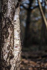 A sliver of silver (Wouter de Bruijn) Tags: fujifilm xt2 fujinonxf56mmf12r birch silver silverbirch tree berk zilverberk bark nature forest fall autumn white light bokeh depthoffield westhove manteling oostkapelle veere walcheren zeeland nederland netherlands holland dutch outdoor
