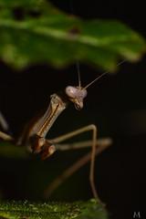 Mantis is looking at you! (SuzieAndJim) Tags: praying mantis looking insect portrait naturephotography nature suzieandjim
