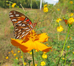 12 Days of Christmas Butterflies - #10 Gulf fritillary in cosmos (Vicki's Nature) Tags: gulffritillary orange butterfly wildflowers cosmos monarch supermacro etowahriverpark georgia vickisnature canon s5 9984 christmas2018
