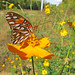 12 Days of Christmas Butterflies - #10 Gulf fritillary in cosmos
