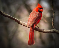 """Happy Holidays!"" Northern Cardinal (Cathy Lorraine) Tags: christmas holidays bright beautiful bird cardinal newyork centralpark outdoors nature red light bokeh"