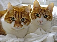 los gemelos Nena y Chuli (adioslunitaadios) Tags: mascotas gatos pelirrojos animales fujifilm macro