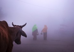 Foggy morning (irrfanazam) Tags: indianphotography streetphotography streetphotographer photography weather beautiful morning women walking cow india ghat yamuna delhi winter foggymorning foggy