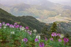 _J5K2550.0918.Cao Phạ.Mù Cang Chải.Yên Bái. (hoanglongphoto) Tags: asia asian vietnam landscape secery vietnamlandscape vietnamscenery vietnamscene northvietnam northwestvietnam mucangchailandscape hdr nature flower mountain mountainouslandscape canon canoneos1dsmarkiii canonef2470mmf28liiusm tâybắc yênbái mùcangchải caophạ phongcảnh phongcảnhvùngcao thiênnhiên hoa núi flanksmountain sườnnúi sunny sunlight nắng