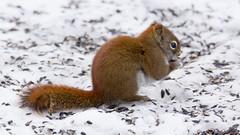 Écureuil roux, Red squirrel ,  Québec - Canada - 9034 (rivai56) Tags: écureuilroux redsquirrel québeccanada écureuil sur un lit de graines tournesol quebeccity squirrel bed sunflower seeds