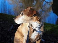 Jake (cycle.nut66) Tags: dog jake terrier patterdale brindle sit water refpection winter day sunny sunlight muzzle ears olympus epl1 evolt micro four thirds