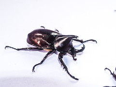 Thai Rhino beetle (www.icon0.com) Tags: rhino color isolated majestic vertical fighting animalia beetle view white rhinoceros siamese insect invertebrate nobody image macro large organism one black photo isolation single closeup bug animal detail front male