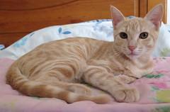094-July'18 (Silvia Inacio) Tags: mel gata gatos cat cats tabby kitten