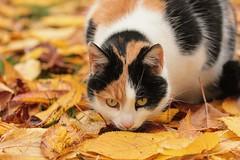 (nettisrb) Tags: katt gatti gatto gato kotka kass neko meo pusa kedi felina gatta kat katte chatte herbst autumn kissa