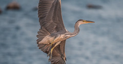 Häger (real.jtj) Tags: stockholmslän sverige se bird häger sweden fågel nynäshamn stockholm wildlife