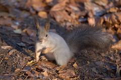 DSC_9704 (vovadvd) Tags: белки щукино squirrels nikon nikond750 tamron tamron70200g2