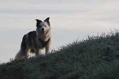 Standing ready (Sundornvic) Tags: luna puppy collie welsh tribluemerle pet walk frost cold grass morning shrewsbury shropshire winter