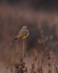 Tropical Kingbird (Tom Clifton) Tags: pointlobos birding moundmeadow flycatcher kingbird trki