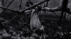 Autumn leaf. Monochrome. (ALEKSANDR RYBAK) Tags: монохромный листок крупный план осень сезон ветки макро детализация monochrome leaflet closeup autumn season branches macro detailing
