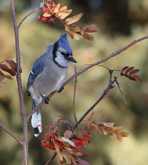 IMG_0636 Geai bleu, Roberval (joro5072) Tags: animal nature oiseau bird jay geai