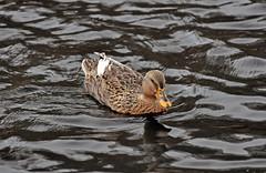 DUCK (KayLov) Tags: swannanoa scenery asheville grove park inn duck
