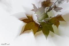 feuillage d'automne (michel_fiocchi) Tags: couleur nature saisons automne blanc feuille orange marseille provencealpescotedazur france fra