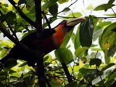 tucano toucan tucán ii (Thaís Fernanda Raposo) Tags: nature toucan natureza tucano birds tropical