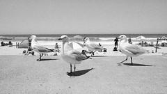 hopeful seagulls  #853 (lynnb's snaps) Tags: afnikkor24mmf28d f80 ilfordhp5 manly nikon xtol bw beach film 2018 sydney manlybeach summer coast sunny hp5 kodakxtoldeveloper nikonf80 australia blackandwhite bianconegro biancoenero blackwhite bianconero blancoynegro noiretblanc schwarzweis monochrome ishootfilm filmneverdie 35mmblackandwhite 35mmfilm