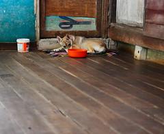 ,, Waiting ,, (Jon in Thailand) Tags: puppy babyshadow dog k9 jungle orange blue teal nikon nikkor d300 175528 puppyexpression puppyears themonkeytemple musclenunsporch handheld110thsecond puppyeyes littledoglaughedstories plankflooring
