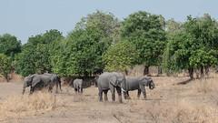 Grazing (Tris Enticknap) Tags: africanelephant zambia elephant southluangwa africa loxodontaafricana