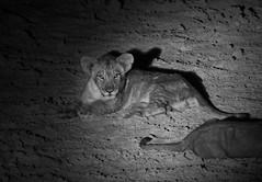 DSC00096 (philliphalper) Tags: namutoni etosha nimabia lion