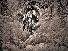 Leuchtende Tanne (almresi1) Tags: winterwald winter woods forest wald trees baum schnee snow effect nature landscape landschaft