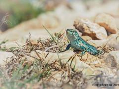 Sargantana  (  Podarcis pityusensis ) (TONICOSTA) Tags: sargantana formentera natura pityusensis podarcis