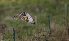 Short Eared Owl - (Asio flammeus) - 'Z' for zoom (hunt.keith27) Tags: talons bird feathers wings quartering asioflammeus shortearedowl owl eyes beautiful magnificent medium sized owls pale underwings yellow mammals especially voles animal canon grass somerset sigma