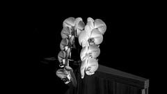 Beleza contrastante em PB (Parchen) Tags: monocromática monocromático pretoebranco brancoepreto claroescuro claroeescuro luzesombra luzeescuridão contraste contrastante contrastado luz sombra iluminação iluminado destacado composição orquídea orquídeas flor flores cachos natural natureza vaso bela beleza bonita linda parchen carlosparchen