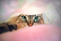 Charlie (nadeen_aljamal88) Tags: cat cats adorable cute pretty color colours eye eyes animal animals domestic domesticated