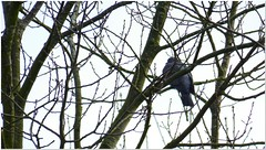Cold Feet (MaxUndFriedel) Tags: nature tree branches twigs winter january bird pigeon