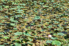 Lotus Pond Siem Reap Cambodia 8 May 2018 (The McCorristons) Tags: siemreap cambodia may 2018 lotus pond