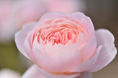 Rose 'Queen of Sweden' raised in UK (naruo0720) Tags: rose englishrose queenofsweden englishrosescollection バラ イギリスのバラ クイーンオブスウェーデン イギリスのバラコレクション 105mm f28 nikonscamera d810 sigmalenses sigma105mmf28exdgoshsm