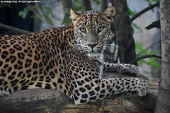 Sri lanka leopard - Zoo Jihlava (Mandenno photography) Tags: animal animals dierenpark dierentuin dieren bigcat big cat cats sri lanka leopard luipaard zoo jihlava zoojihlava tsjechie czech republic