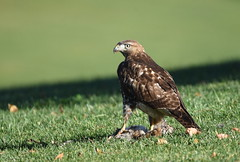 Red-tailed Hawk (Christopher Lindsey) Tags: redtailedhawk birds birding california montecitomemorialpark lomalinda sanbernardinocounty