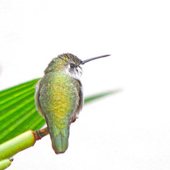 THE DELICATE GRACE OF THE HUMMINGBIRD REMINDS US THAT LIFE IS RICH, BEAUTY IS EVERYWHERE, EVERY PERSONAL CONNECTION HAS MEANING AND THAT LAUGHTER IS LIFE'S SECRET CREATION (Irene2727) Tags: hummingbird hummer bird feathers wings beak leaf green nature onwhite coth coth5