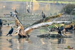A-LUR_2002 (OrNeSsInA) Tags: ornessina trasimeno lago byrd natura nature aironi umbria itali italia