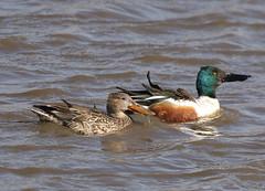 F_031519b (Eric C. Reuter) Tags: birds birding nature wildlife nj forsythe nwr refuge oceanville brigantine march 2019 031619