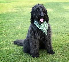 Just Benni at the park (Bennilover) Tags: dog dogs park castillepark labradoodle wet grass nose december bandana benni bennigirl