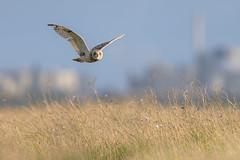 Short-eared Owl (Asio flammeus) (benstaceyphotography) Tags: nikonuk eyes hunting deeestuary birdofprey raptor birdinflight bif bird owl wildlife nature seo
