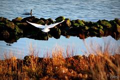 .... arrivo!!!! (erman_53fotoclik) Tags: garzetta uccello fauna volo volare ali acqua massi erba riva canon eos 500d ermanno destro erman53fotoclik