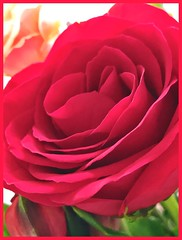 Rose Rose (LarryJay99 ) Tags: blossoms blooms flowers reds roses redroses naturalbeauty nature plants