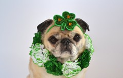 Happy St. Patrick's Day! (DaPuglet) Tags: pug pugs dog dogs pet pets animals animal stpatricksday stpatrick patrick paddy patty irish shamrock green cute costume flowers holiday march spring ontario eringobragh saintpatrick diva senior
