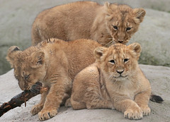 asiatic lion Blijdorp 094A0772 (j.a.kok) Tags: animal asia azie asiaticlion aziatischeleeuw blijdorp mammal zoogdier dier predator leeuw lion pantheraleopersica