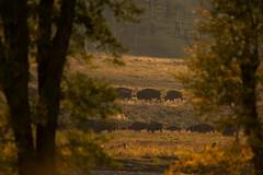 (Samuel Raison) Tags: bisons bison buffalo buffalos wildlife wildlifephotography naturephotography nature lamarvalley yellowstone yellowstonenationalpark yellowstonewildlife animal animals animauxsauvages nikon nikond800 nikon4600mmafsgvr